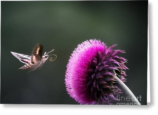 Hummingbird Moth Greeting Card by Barbara Chichester