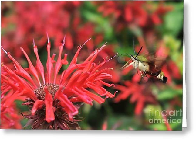 Hummingbird Moth feeding on red flower Greeting Card by Dan Friend