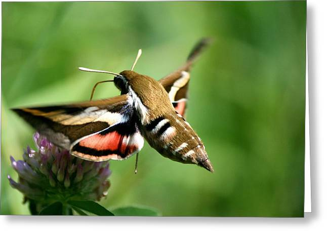Neal Eslinger Greeting Cards - Hummingbird Moth from Behind Greeting Card by Neal  Eslinger