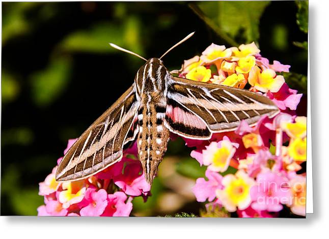 Night Hawk Greeting Cards - Hummingbird Moth  Greeting Card by Robert Bales