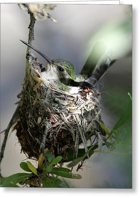 Migrating Hummingbird Greeting Cards - Hummingbird Mother in Nest Greeting Card by Chris Alcock