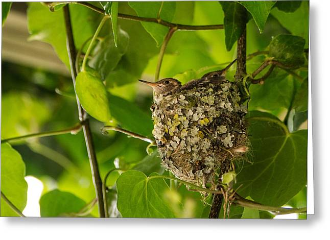 Hungry Chicks Greeting Cards - Hummingbird Nest With Chicks Greeting Card by Jordan Blackstone