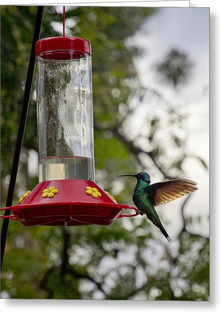 Hovering Greeting Cards - Hummingbird Perfect Landing Greeting Card by Al Bourassa