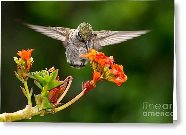 Feeding Birds Greeting Cards - Hummingbird Greeting Card by Peter Dang