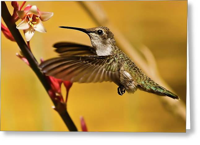 Hummingbird Greeting Card by Robert Bales