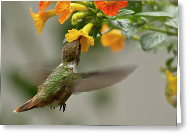 Yellows Greeting Cards - Hummingbird sips Nectar Greeting Card by Heiko Koehrer-Wagner