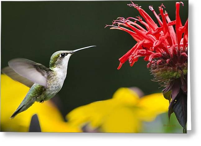 Flying Animal Greeting Cards - Hummingbird Snack Greeting Card by Christina Rollo