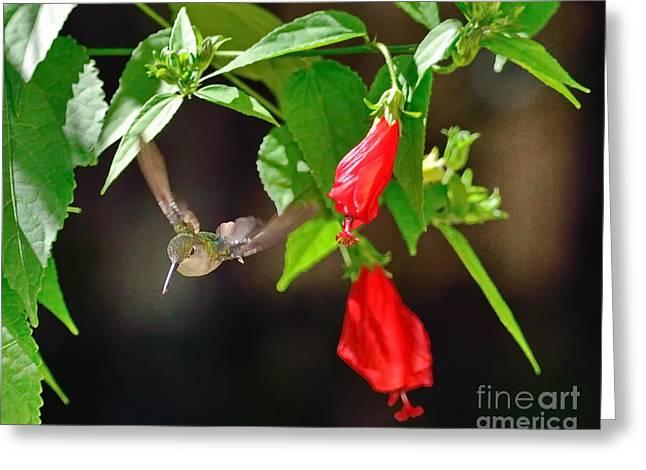 Hummingbird Greeting Cards - Hummingbird Soars by Red Blooms Greeting Card by Wayne Nielsen