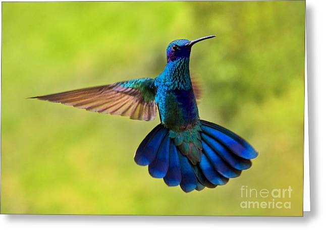 Hovering Greeting Cards - Hummingbird Splendour Greeting Card by Al Bourassa