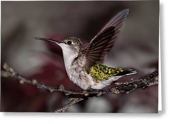 Archilochus Colubris Greeting Cards - Hummingbird Stretching Greeting Card by Lara Ellis