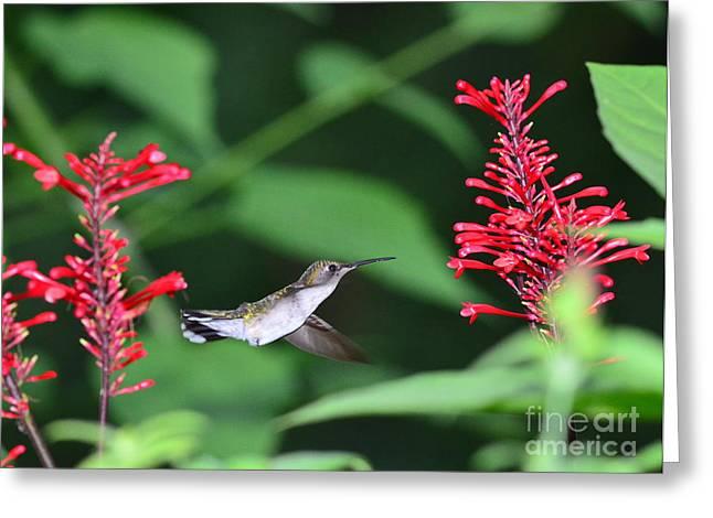 Hummingbird Greeting Cards - Hummingbird with Flower Red Suspension Greeting Card by Wayne Nielsen