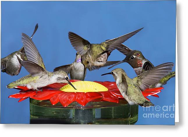 Feeding Young Greeting Cards - Hummingbirds At Feeder Greeting Card by Anthony Mercieca