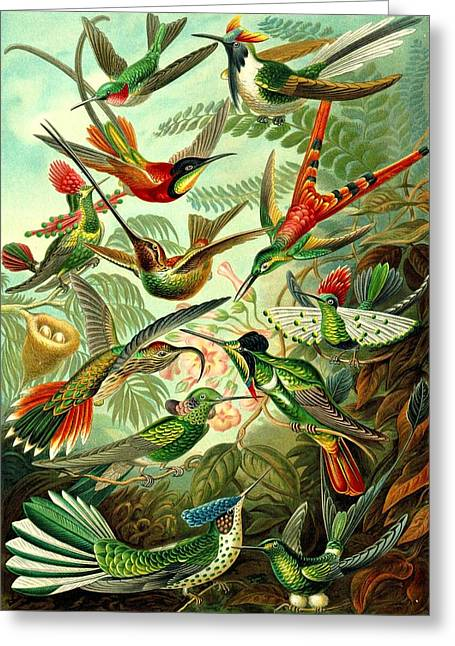 Hummingbirds Birds Trochilidae Haeckel Swifts Greeting Card by Movie Poster Prints