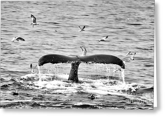 Seabirds Mixed Media Greeting Cards - Humpback Fluke 1 Black and White Whale  Greeting Card by Brandi Fitzgerald