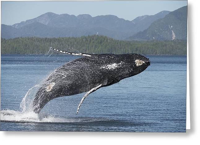 Breaching Greeting Cards - Humpback Life Greeting Card by Bill Cubitt