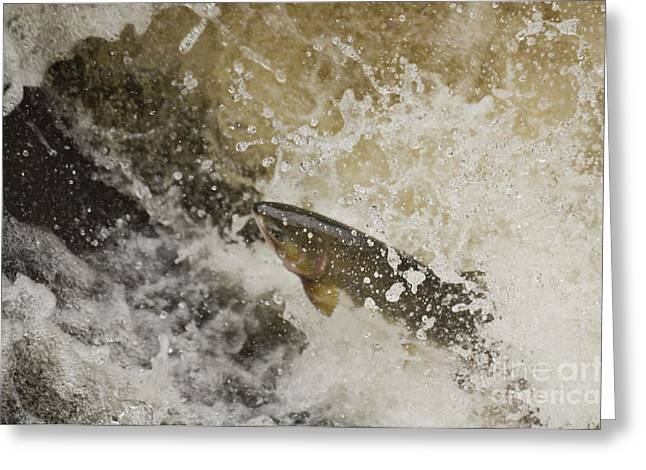 Gorbuscha Greeting Cards - Humpback Salmon Swimming Upstream Greeting Card by Ron Sanford