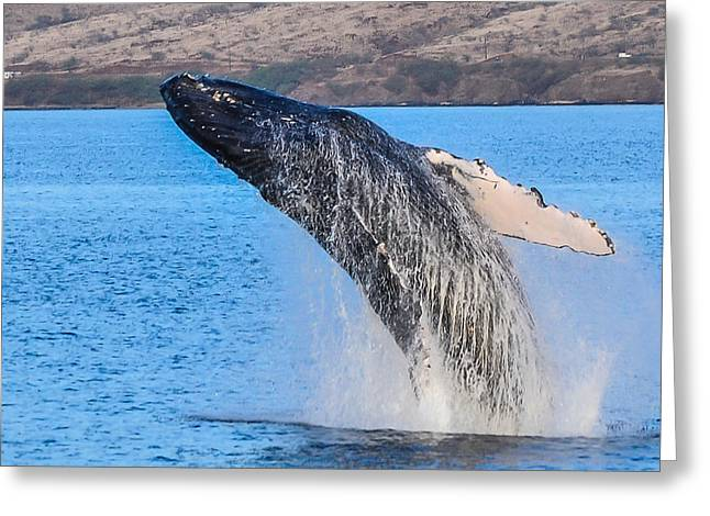 ; Maui Greeting Cards - Humpback Takes Flight Greeting Card by Puget  Exposure
