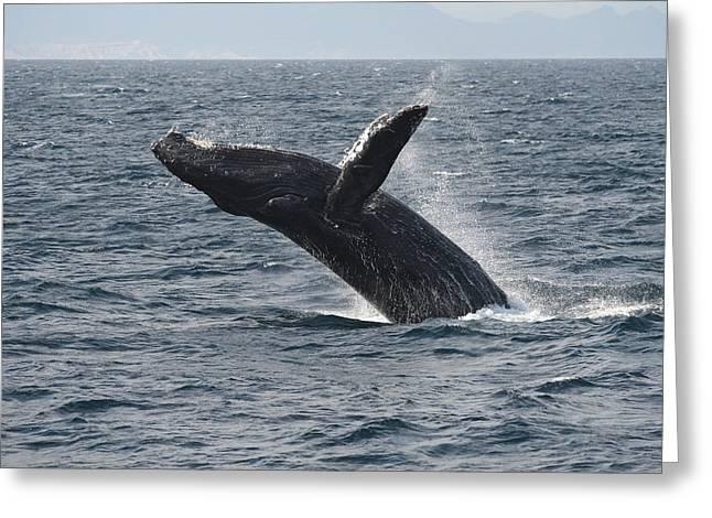 Hump Greeting Cards - Humpback Whale Breaching Baja Greeting Card by Flip Nicklin