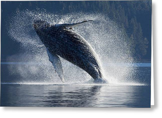 Backlit Greeting Cards - Humpback Whale Breaching In The Waters Greeting Card by John Hyde