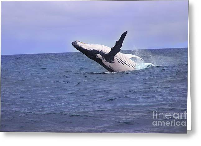 Huge Eyes Greeting Cards - Humpback Whale Breaching Near Puerto Lopez - Ecuador Greeting Card by Al Bourassa