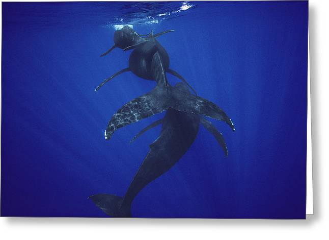 Underwater Photos Greeting Cards - Humpback Whale Calf Mother And Male Greeting Card by Flip Nicklin