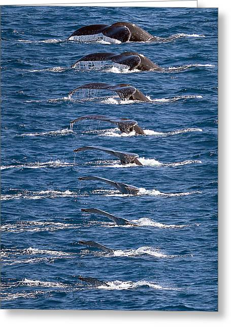 Humpback Whale Dive Sequence Greeting Card by Mr Bennett Kent