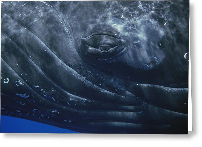 Underwater Photos Greeting Cards - Humpback Whale Eye Of Singer Maui Hawaii Greeting Card by Flip Nicklin