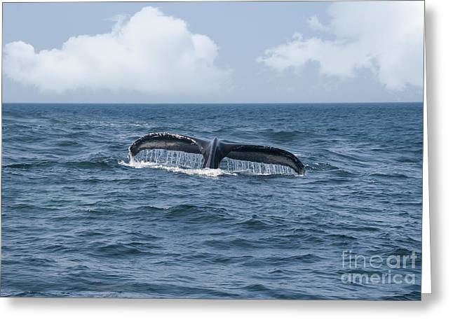 Whale Photographs Greeting Cards - Humpback Whale Fin Greeting Card by Juli Scalzi