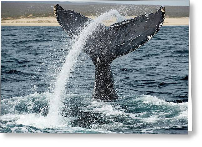 Humpback Whale Lobtailing Greeting Card by Christopher Swann