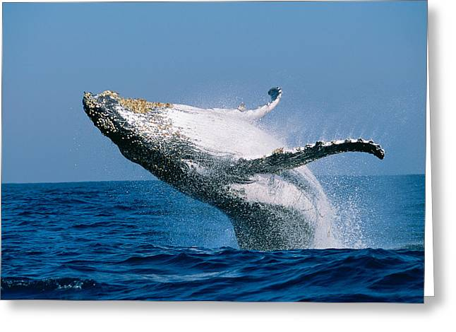 Breaching Greeting Cards - Humpback Whale Megaptera Novaeangliae Greeting Card by Panoramic Images