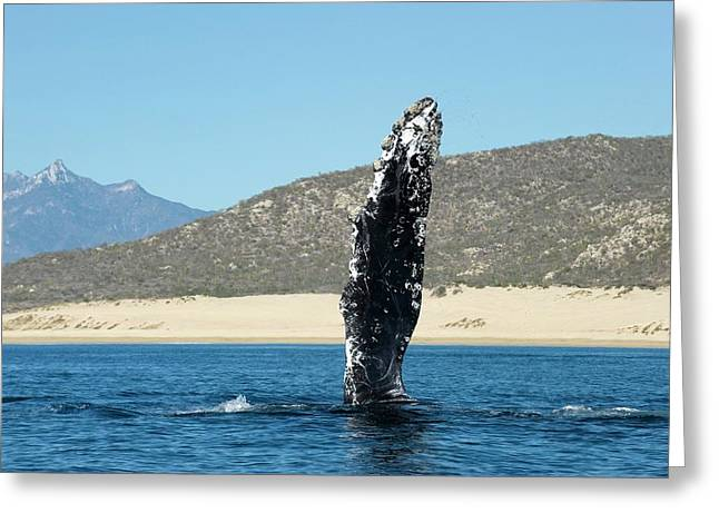 Humpback Whale Pectoral Fin Greeting Card by Christopher Swann