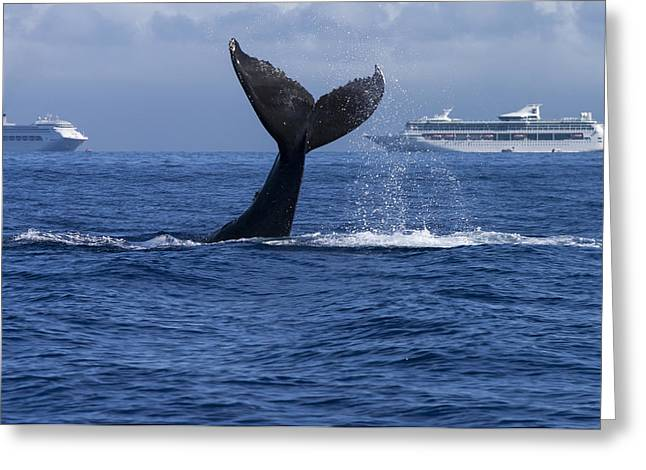 Ocean Mammals Greeting Cards - Humpback Whale Tail Lobbing in Maui Greeting Card by Flip Nicklin