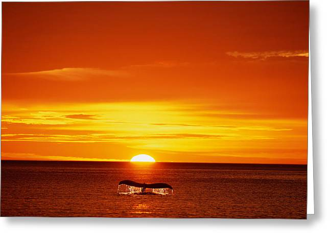 Breaching Greeting Cards - Humpback Whale Tail  Sunset Se Composite Greeting Card by John Hyde