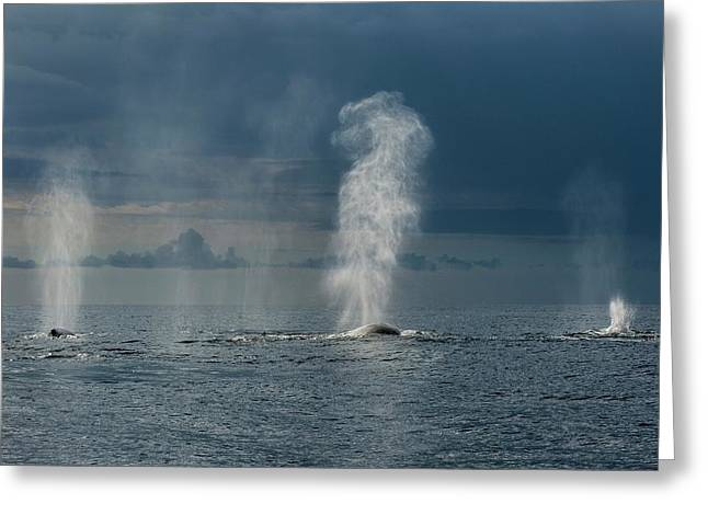 Humpback Whales Blowing Greeting Card by Christopher Swann