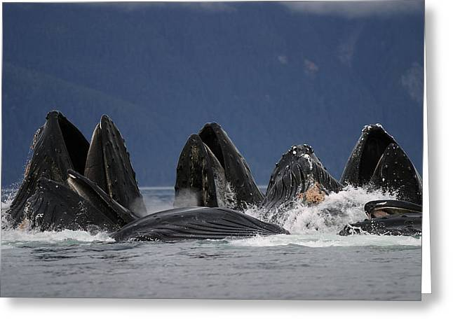 Cooperation Greeting Cards - Humpback Whales Bubble Net Feeding Greeting Card by Hiroya Minakuchi
