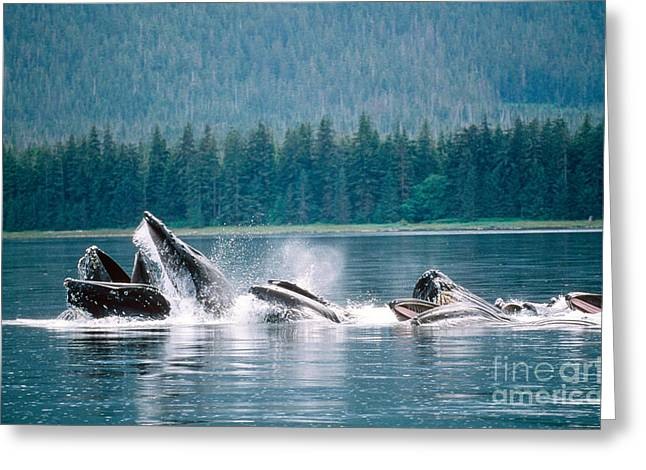 Cooperation Greeting Cards - Humpback Whales Feeding Greeting Card by Art Wolfe