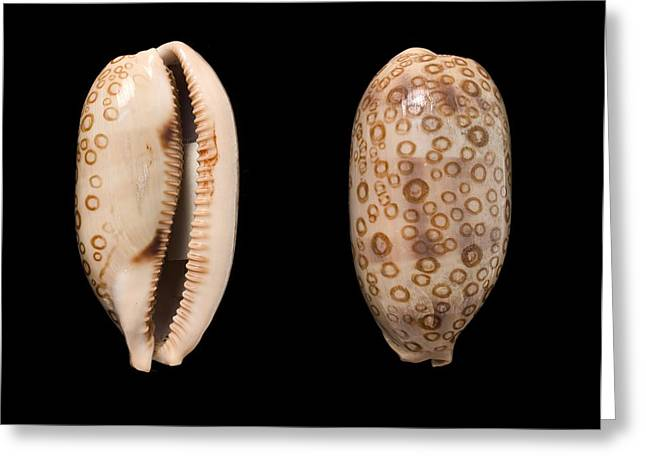 Aperture Greeting Cards - Hundred-eyed cowrie shells Greeting Card by Science Photo Library