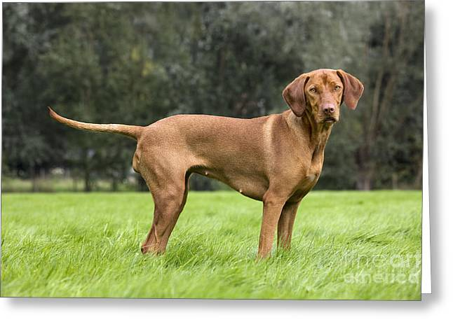 Magyar Vizsla Greeting Cards - Hungarian Vizsla Dog Greeting Card by Johan De Meester