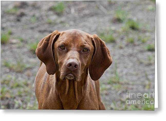 Hungarian Pointer Greeting Cards - Hungarian Vizsla Greeting Card by William H. Mullins