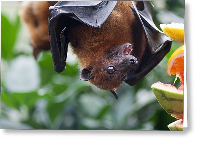 Watermelon Greeting Cards - Hungry Bat Greeting Card by Daniel Precht