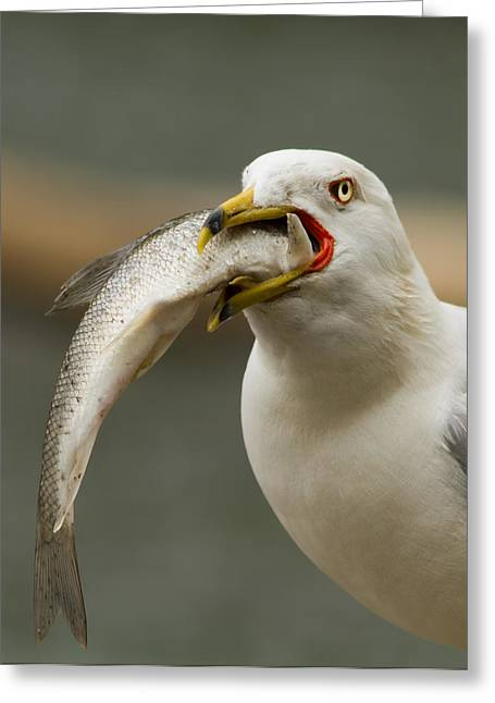 Ring-billed Gull Greeting Cards - Hungry Bird Greeting Card by Mircea Costina Photography