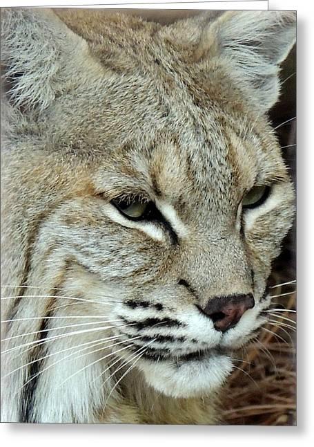 Bobcats Greeting Cards - Hungry Bobcat Greeting Card by Mark Moore