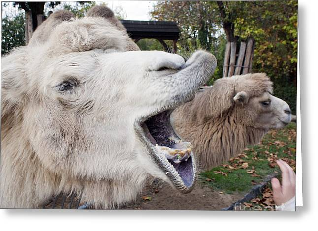 Femal Portrait Greeting Cards - Hungry camel portrait Greeting Card by Odon Czintos