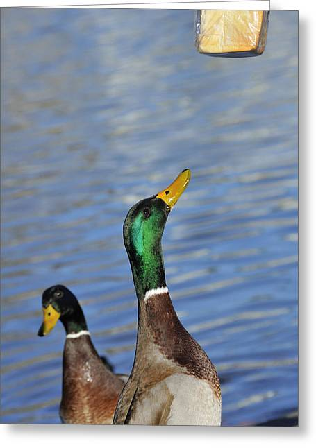 Greedy Greeting Cards - Hungry duck Greeting Card by Matthias Hauser
