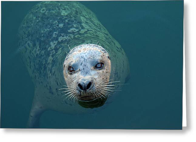 Sea Lions Greeting Cards - Hungry Eyes Greeting Card by Charlette Miller