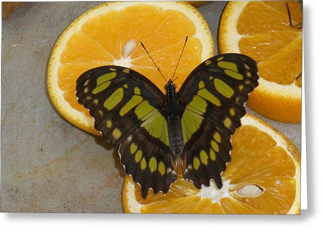Cocoon Greeting Cards - Hungry Little Butterfly Greeting Card by Scott Dokey