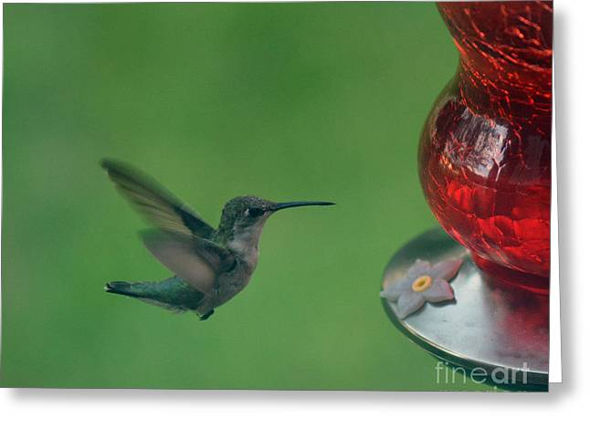 Feeder Framed Prints Greeting Cards - Hungry Little Hummingbird Greeting Card by Barbara Dalton