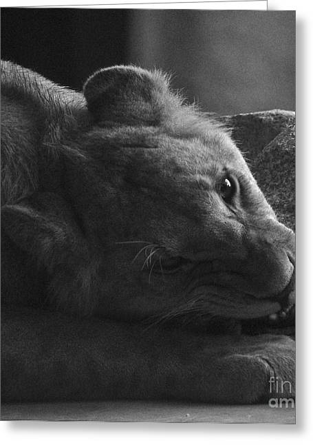 Lioness Greeting Cards - Hungry Greeting Card by Simona Ghidini