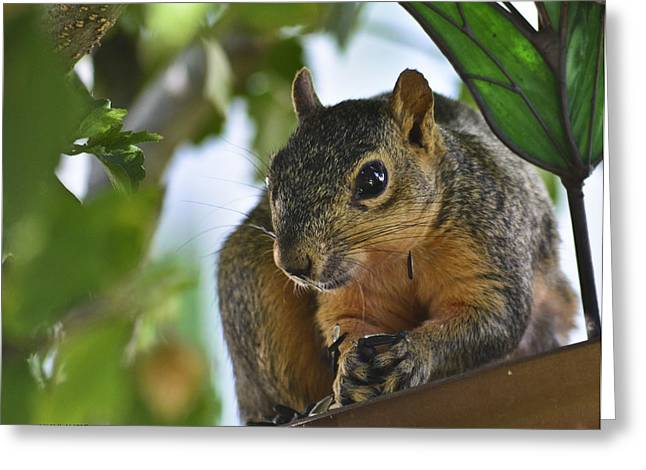 Althea Greeting Cards - Hungry Squirrel Greeting Card by Allen Sheffield