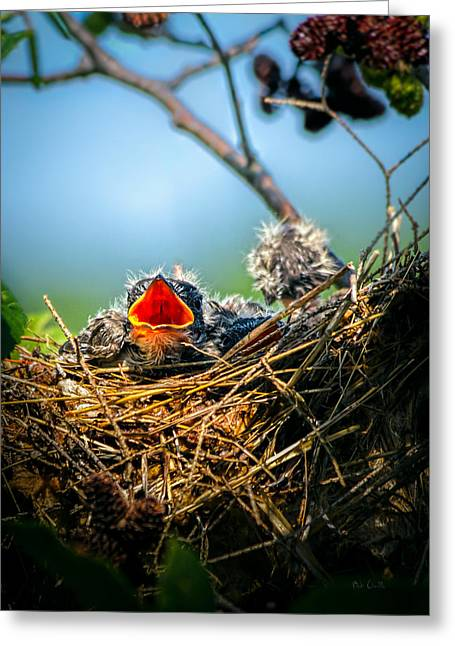 Fledglings Greeting Cards - Hungry Tree Swallow Fledgling In Nest Greeting Card by Bob Orsillo